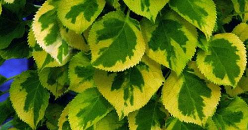Гортензия черешковая - листья