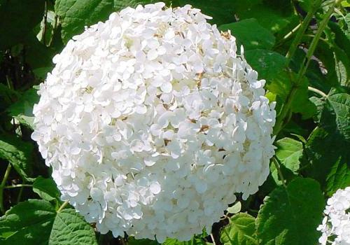 Гортензия древовидная - белый цветок