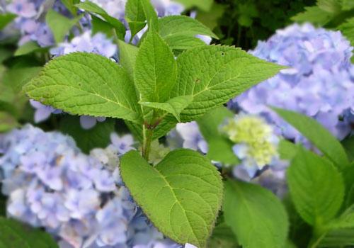 Гортензия древовидная - листва