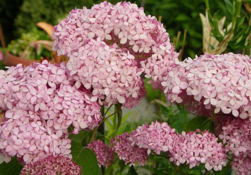 Гортензия древовидная - розовый цветок