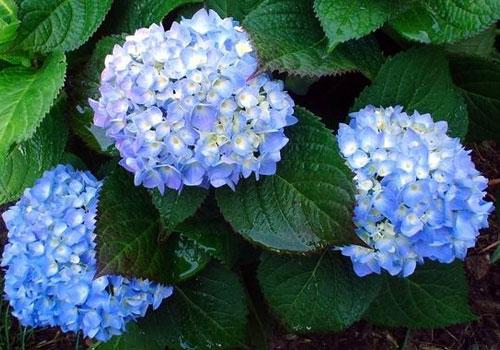 Гортензия древовидная - голубой цветок