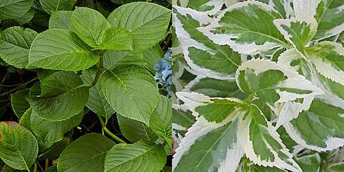 Гортензия крупнолистная - листья