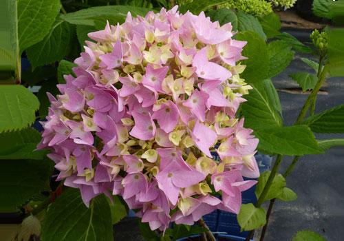 Гортензия крупнолистная - розовые