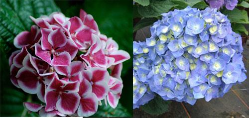 Гортензия крупнолистная - цветы