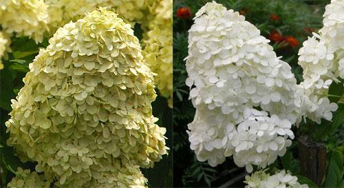 Гортензия метельчатая - белые цветы