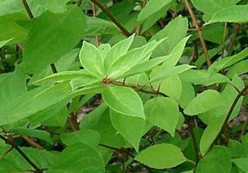 Гортензия метельчатая - листья