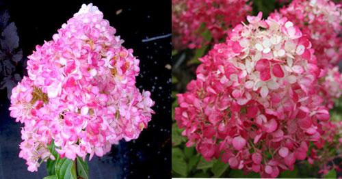 Гортензия метельчатая - розовые цветы