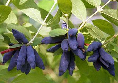 Жимолость голубая - грозди