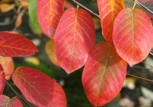 Ирга канадская - листья
