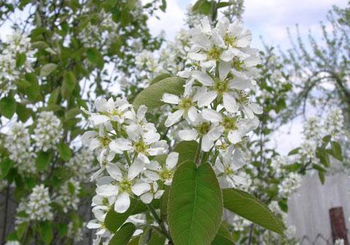 Ирга канадская - цветы