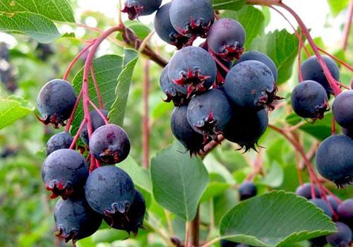 Ирга обыкновенная - зрелые ягоды