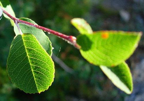 Ирга обыкновенная - листья