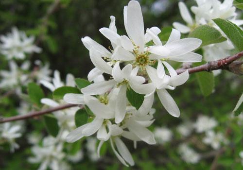 Ирга обыкновенная - цветы