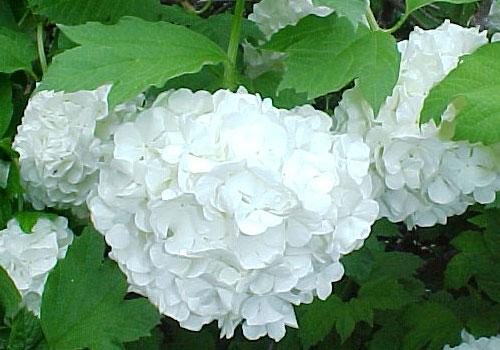 Калина Бульденеж - белые цветы