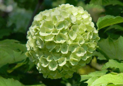 Калина Бульденеж - зеленоватые цветы