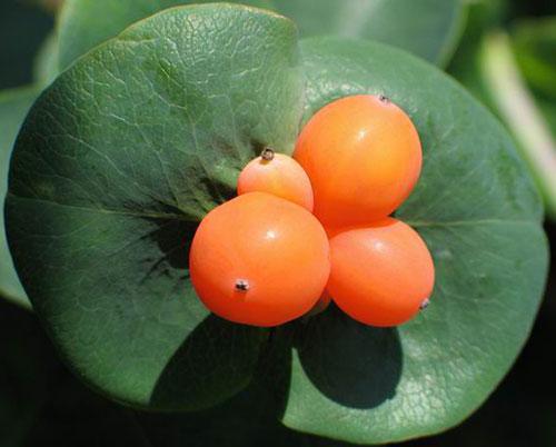 Жимолость каприфоль - ягоды