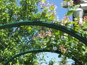 Жимолость каприфоль: посадка и уход. Как просто вырастить душистую лиану?