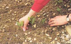 Жимолость каприфоль: размножение отводками