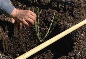 Жимолость: размножение садового кустарника
