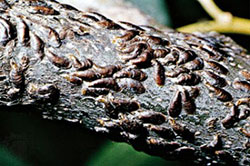 Жимолость съедобная - щитовка