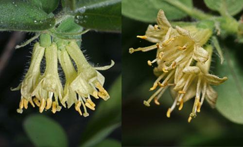 Жимолость съедобная цветы