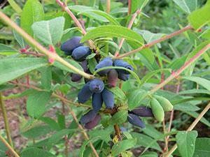 Жимолость съедобная: посадка и уход. Как получить хороший урожай плодов?