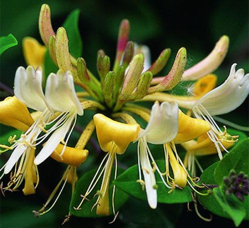 Жимолость вьющаяся цветение