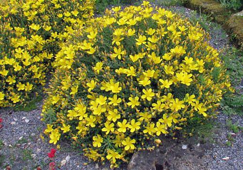 Коровяк олимпийский цветок корица вариегата