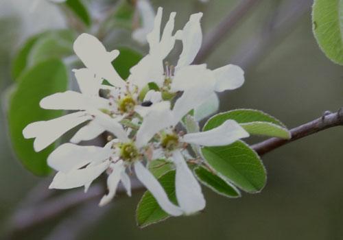Ирга: размножение делением куста