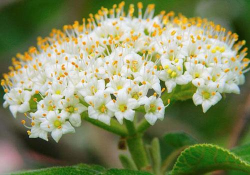 Калина гордовина - цветы