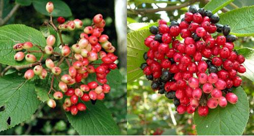 Калина гордовина - созревшие ягоды