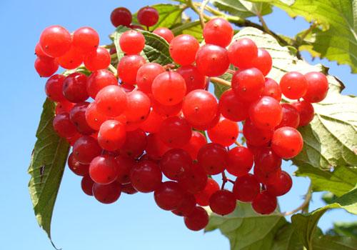 Калина обыкновенная - ягоды