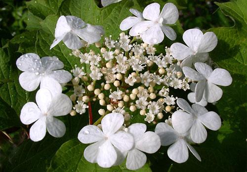 Калина обыкновенная - цветы