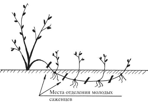 Калина: размножение отводами