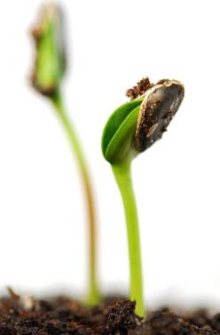 Калина: размножение семенами