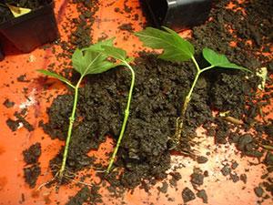 Калина: размножение. Как получить посадочный материал?
