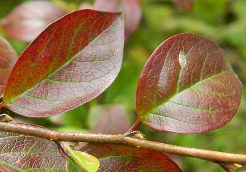 Кизильник блестящий - листья осенью