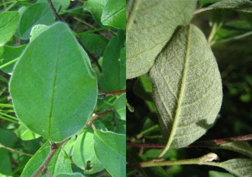 Кизильник черноплодный - листья