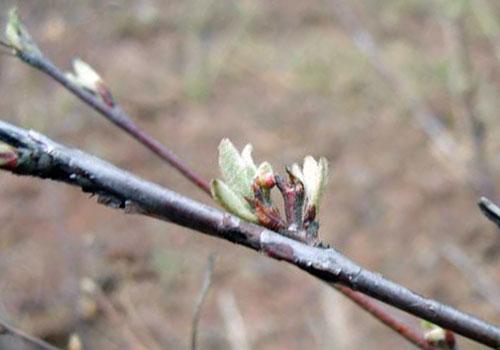 Кизильник черноплодный - почки
