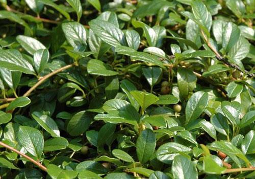 Кизильник Даммера - листья