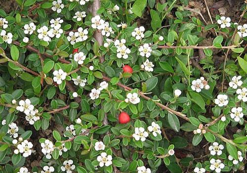 Кизильник горизонтальный - цветение
