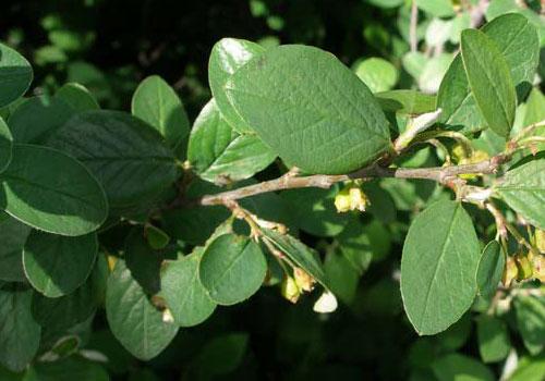 Кизильник обыкновенный - листва