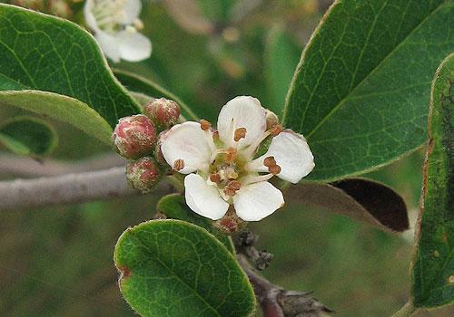 Кизильник обыкновенный - цветок