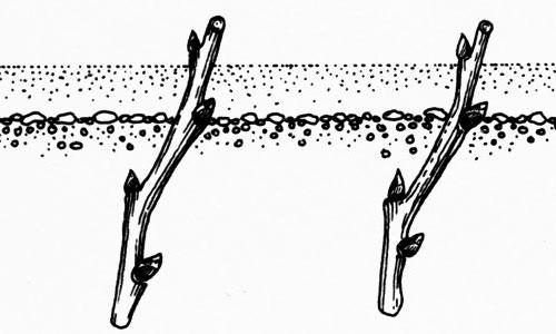 Калина: размножение черенками