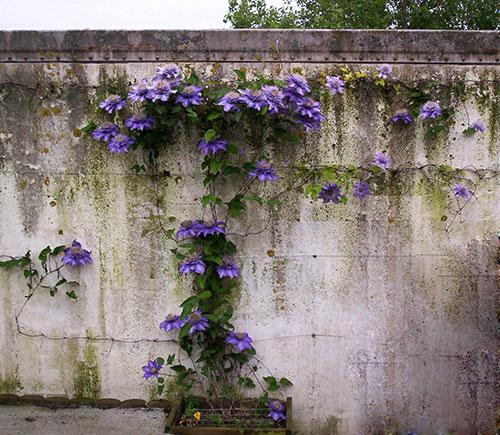 Клематис «Мульти Блю» на стене