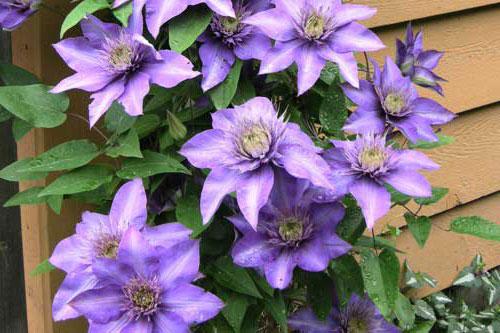 Клематис «Мульти Блю» цветение