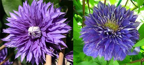 Клематис «Мульти Блю» цветы