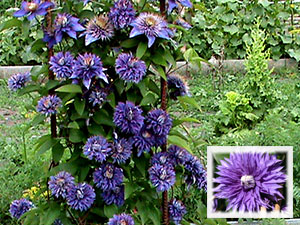 Клематис «Мульти Блю»: красавец с синими цветками