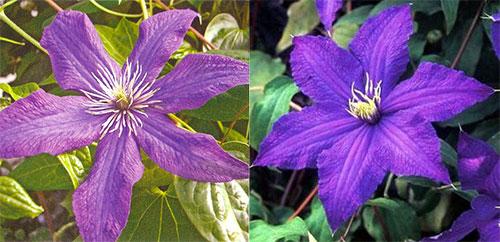 Клематис «Рапсодия» - разная расцветка цветов