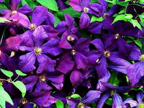 Клематис «Рапсодия» - цветы